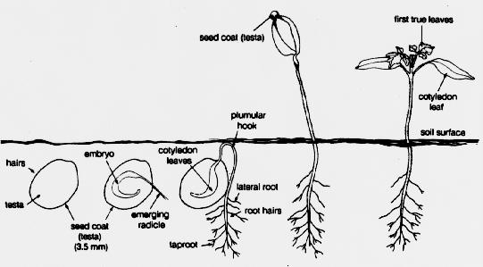 germination process coloring pages